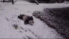 Así disfruta de la nieve esta pareja de pandas