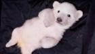 Las imágenes más tiernas de los osos polares bebés