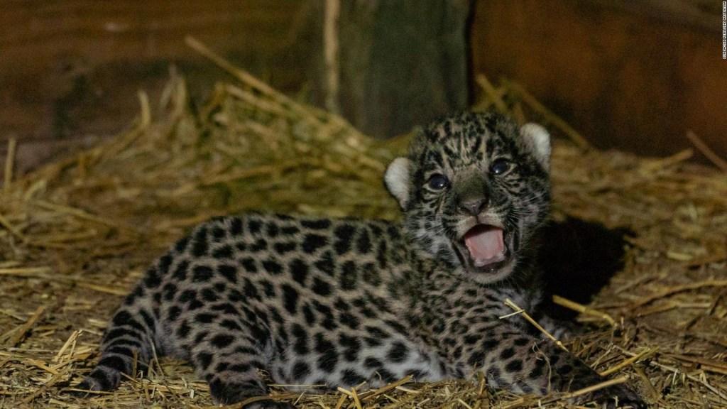 Yaguaretés recién nacidos traen esperanza en Chaco
