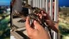 Rescatan a 39 caimanes que transportaban en una hielera