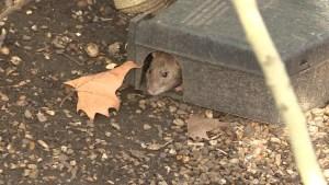 Ratas infestan Londres
