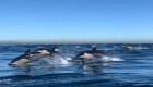 Espectáculo natural de delfines en California