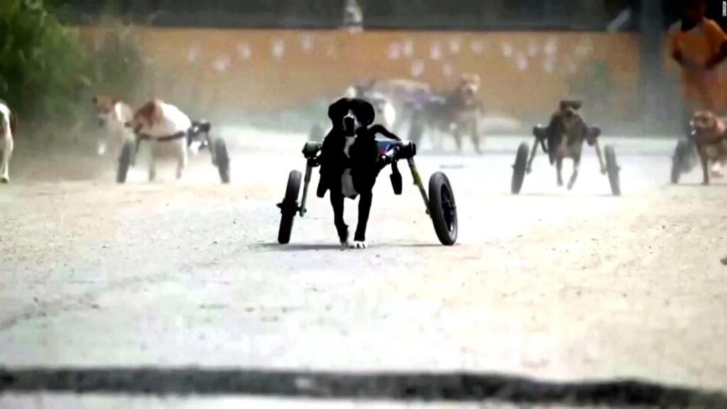 Estos perritos discapacitados pueden volver a correr