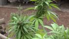 Ley que regulariza la marihuana también pone estos límites