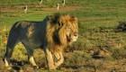 Sacrifican a 2 leones que mataron a una persona