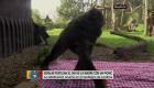 Tierno picnic de gorilas por el Día de la Madre