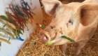 """""""Pigcasso"""", un cerdo pinta cuadros de miles de dólares"""