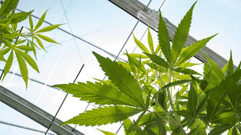 Propuesta en Nueva York para legalizar la marihuana