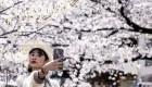 ¿Por qué preocupa la floración de cerezos en Japón?