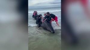ExAll Blacks rescató a una ballena y generó polémica