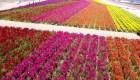 Un arcoíris de flores en California