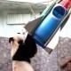 Un oso panda, protagonista de homenaje a Yuri Gagarin