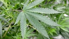 Deportistas que recibieron castigos por marihuana