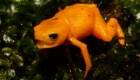 Descubren nueva especie de anfibio en Brasil