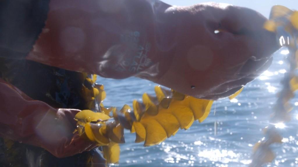 Algas marinas contra el cambio climático