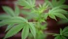 Los 5 países que más consumen marihuana en América