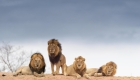 Ocho leones de la India, contagiados de covid-19