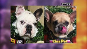 Salen revelaciones sobre el robo de perros de Lady Gaga