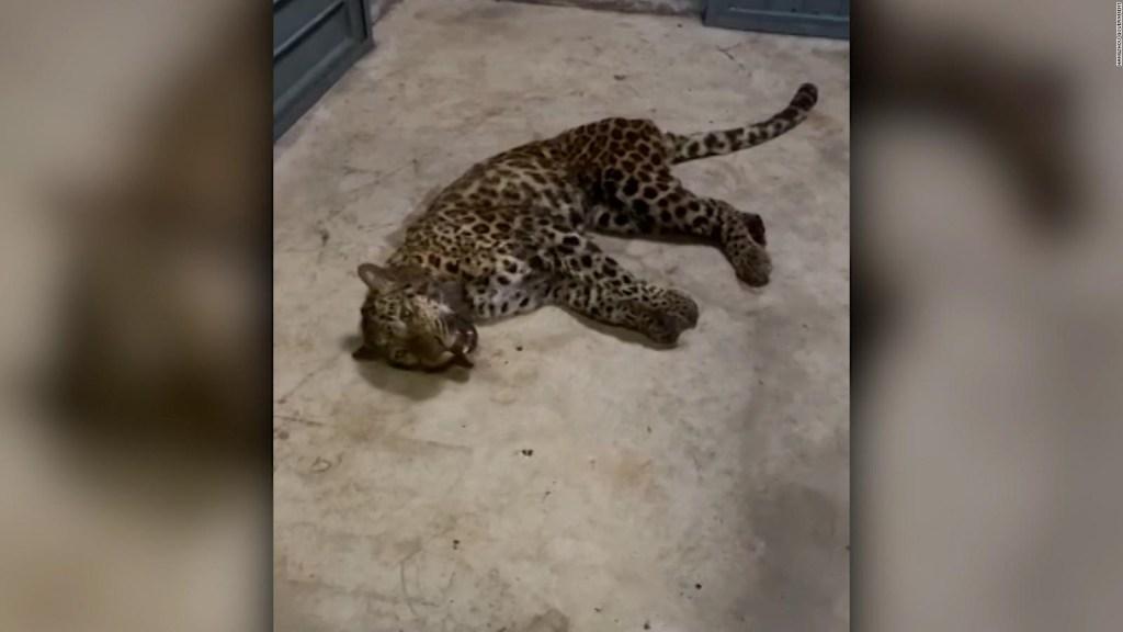 Leopardo suelto en las calles de China