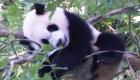 Un vistazo a los pandas gigantes del Smithsonian
