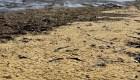Toneladas de caviar en una playa de Rusia