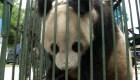 Panda se recupera y vuelve a su hábitat