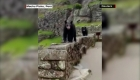 Mira a osos andinos que pasean por Machu Picchu