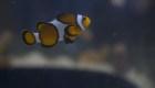 La ciencia estudia al pez payaso
