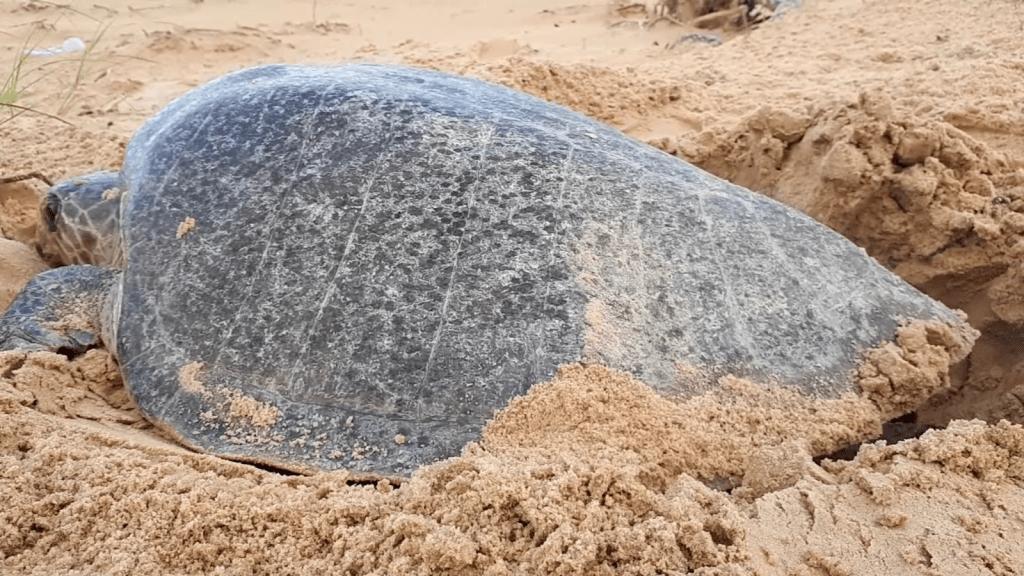 El lugar de Brasil que protege a las tortugas marinas
