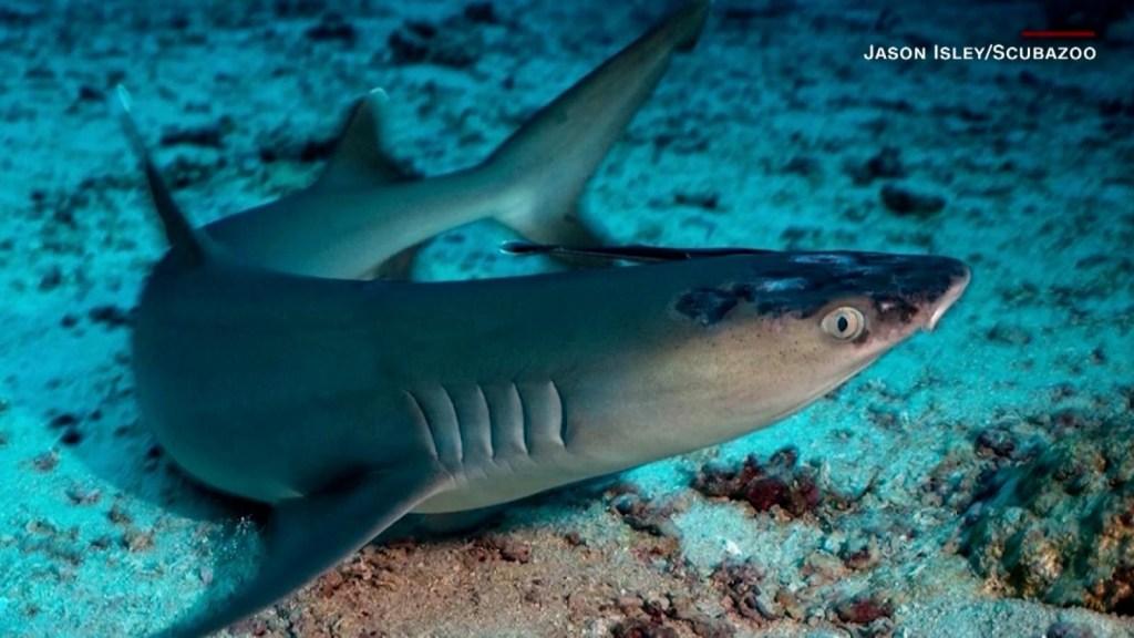 Calentamiento del mar afecta a tiburones