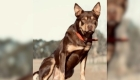 Subastan a un perro kelpie australiano por cifra récord