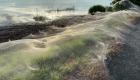 Las impresionantes imágenes de una región cubierta por telarañas