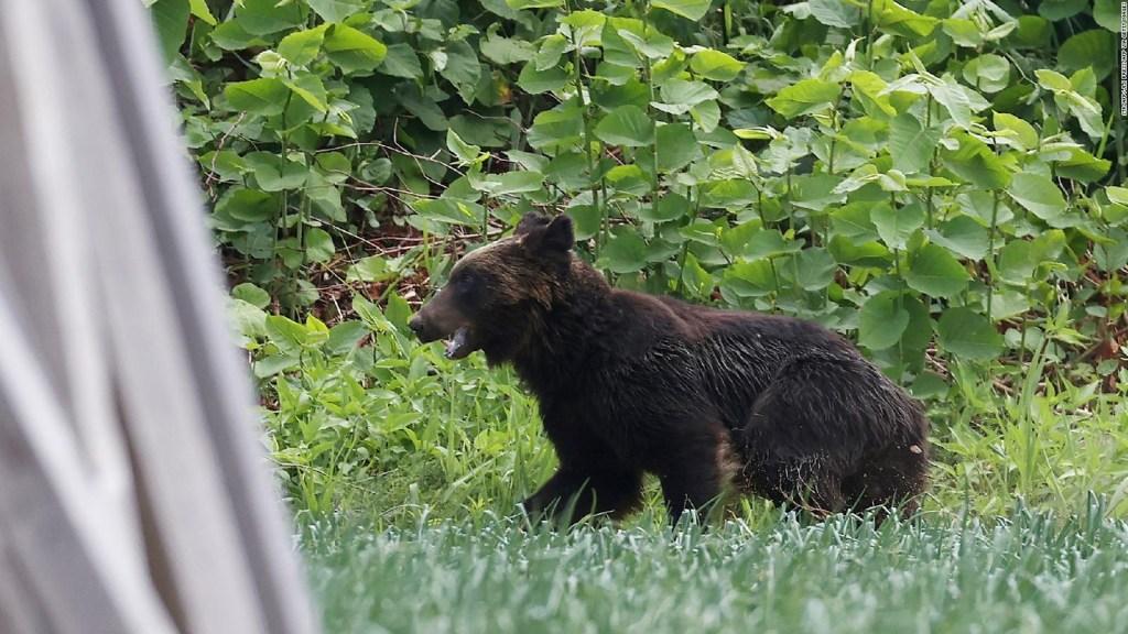 Un ataque de oso en Japón deja 4 heridos