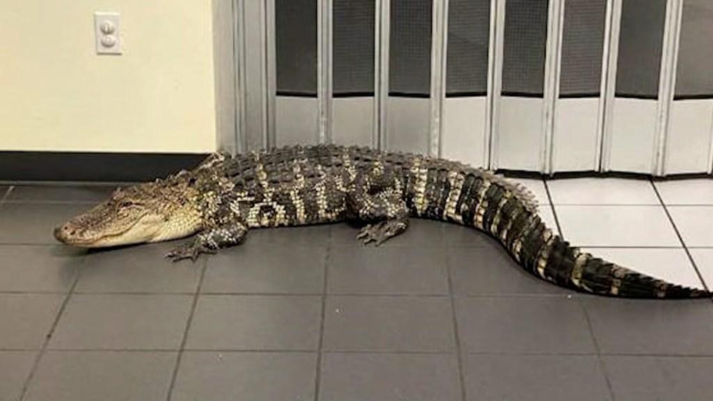 Cliente encuentra un caimán en oficina postal de Florida