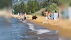 Familia de oso se baña en el mar, junto a las personas
