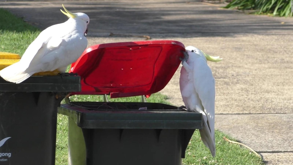 Estas cacatúas de Australia aprendieron a comer entre sí