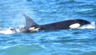 Avistan cría de orca en la Patagonia argentina