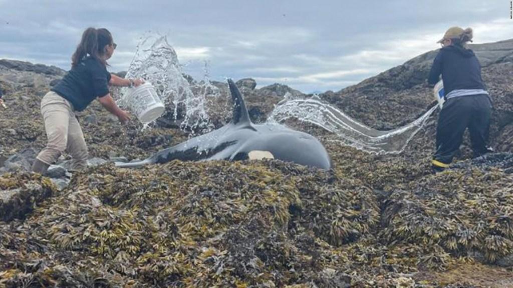 Así salvan a una orca encallada arrojándole agua