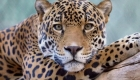 Se acercó a un jaguar en un zoológico y resultó herido