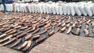 Incautan 870 kilogramos de colmillo de elefante en Nigeria