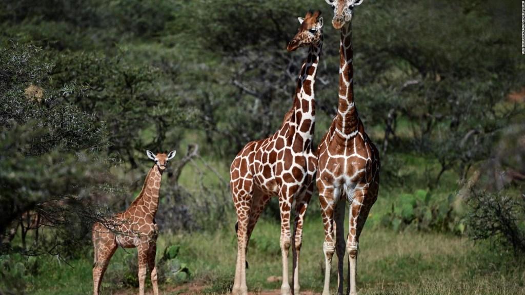 Estudio asegura que jirafas tienen guarderías para las crías