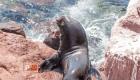 ¿Por qué algunos lobos marinos no llegan al año de vida?