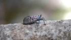 Invasión de moscas linterna en Pensilvania