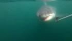 Tiburones aprovechan el cadáver de una ballena