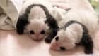 Cachorros de panda comienzan a mostrar sus machas