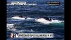 Mira una gran manada de ballenas alimentarse de peces