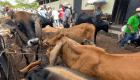 Chivo Wallet, la app para comprar ganado con bitcoins