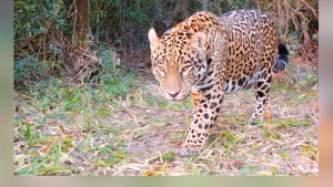 Liberan a jaguar nacida en cautiverio en Argentina