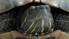 Tortuga ingresa a pista de aterrizaje y demora vuelos