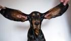 Esta es la perrita con las orejas más grandes del mundo